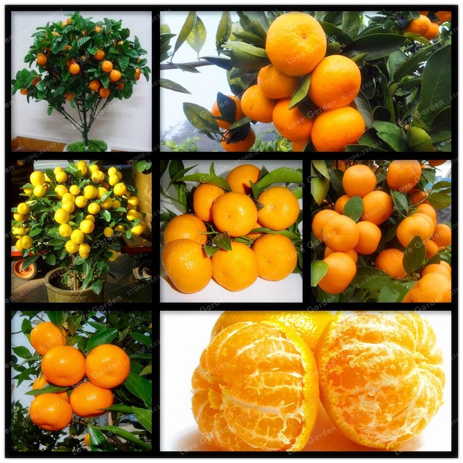 30 Pcs Citrus seed Bonsai Mandarin Orange Seeds Edible Fruit Bonsai Tree Seeds Healthy Food Home Garden Easy To Grow