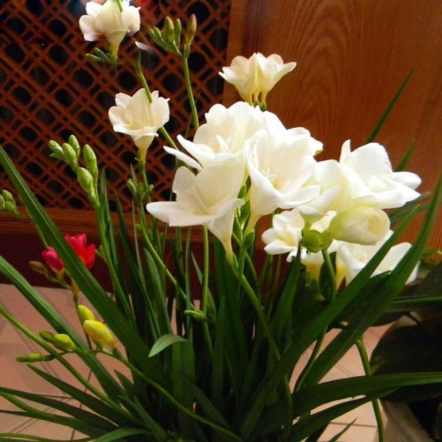 Zlking 2 pcs rare white freesia seeds freesia flower pot garden zlking 2 pcs rare white freesia seeds freesia flower pot garden seeds garden terrace perennial flower mightylinksfo
