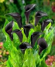 Calla lily seeds 100 pcs  rare flower seeds for home garden planting (not calla lily bulbs),bonsai pot plant perennial flowers
