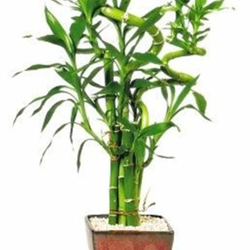Time-Limit!!Lucky Bamboo Bonsai Small Potted Plants Purify Dracaena Plantas,Planting Simple for Home & Garden,100 PCS/Pack