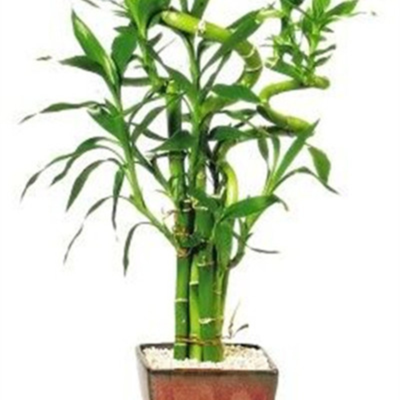 Time Limit Lucky Bamboo Bonsai Small Potted Plants Purify