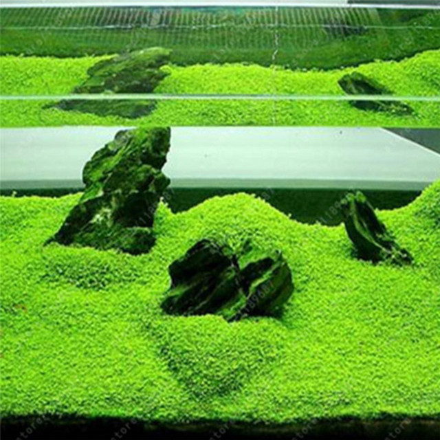 Aquarium Plant Seeds - Easy Planting Ornamental Fish Tank Landscape Plant 2