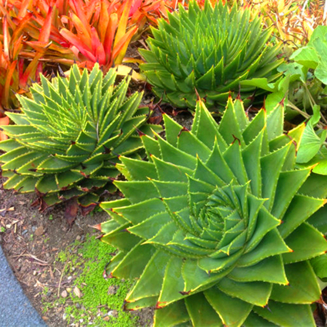 100 pcs Rare Spiral New Succulents seed Aloe vera polyphylla rotation aloe vera queen seeds Aloe polyphylla
