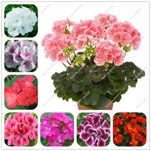 Big Promotions!50pcs a Bag Geranium Seeds, Garden Flowers Perennial Fleur Graine Geranium,Indoor Plants Seed Geraniums 2016 Sale