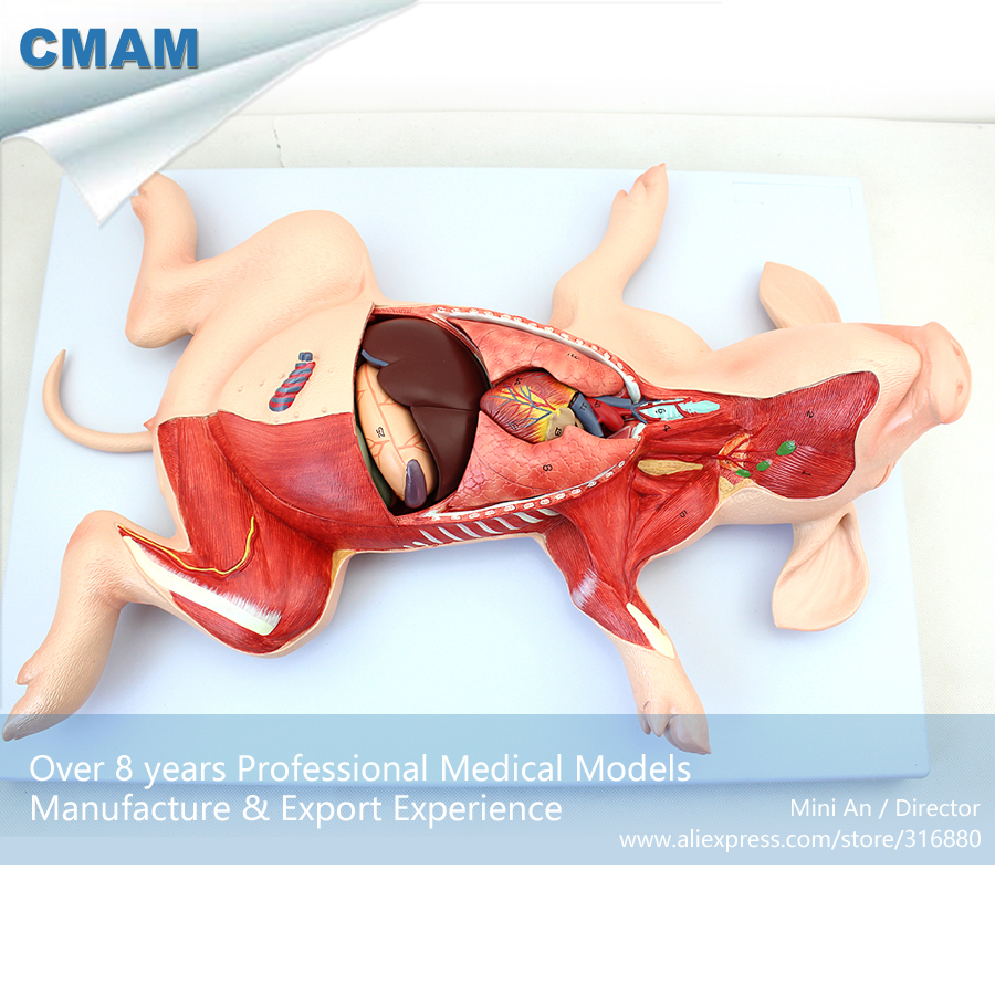 12002 CMAM-A02 Visceral Anatomy Model of Porcine Embryonic Organs ,  Medical Science Educational Teaching Anatomical Models 12338 cmam pelvis01 anatomical human pelvis model with lumbar vertebrae femur medical science educational teaching models