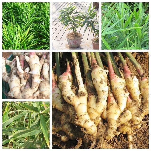 120 Stücke Gemüse Samen Frischer Ingwer Samen Vier Jahreszeiten