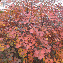 120Pcs Cotinus Coggygria Smoke Tree Seeds