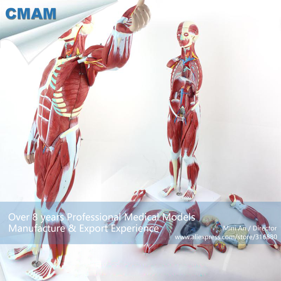 12023 CMAM-MUSCLE01 Half Size Human Muscles of Male with Internal , Medical Science Educational Teaching Anatomical Models cmam spine11 human vertebral column w half femur highly detailed model medical science educational teaching anatomical models