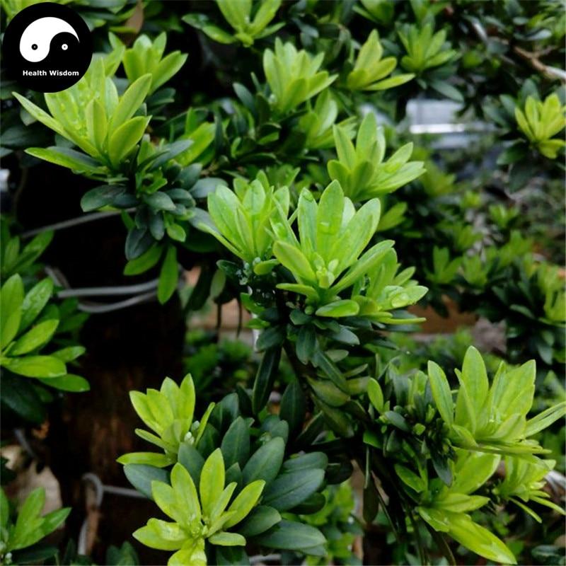 Buy Podocarpus Macrophyllus Tree Semente 40pcs Plant Zhen Zhu Luo Han Song