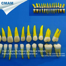 CMAM-DT109 Standard 1:1 Simulation Aisan Type Permanent Teeth Model in Life Size