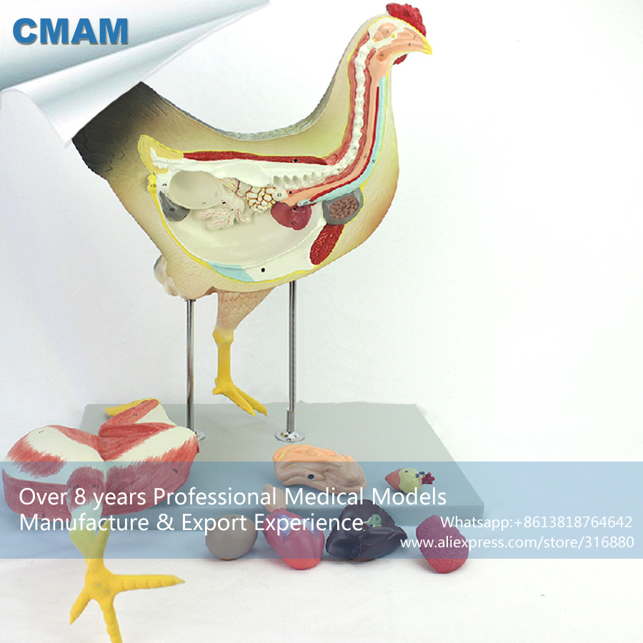 12009 CMAM-A28 Hen Model Farm Animal 8parts Female Chicken Model , Animal Anatomical Models for Veterinarian's Reference 12005 cmam a05 dog acupuncture model animal acupuncture models for veterinarian s reference