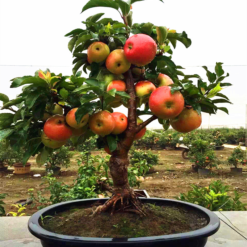 50pcs Very Rare Dwarf Apple Tree Sweet Fruit Planted Fruit Trees ...