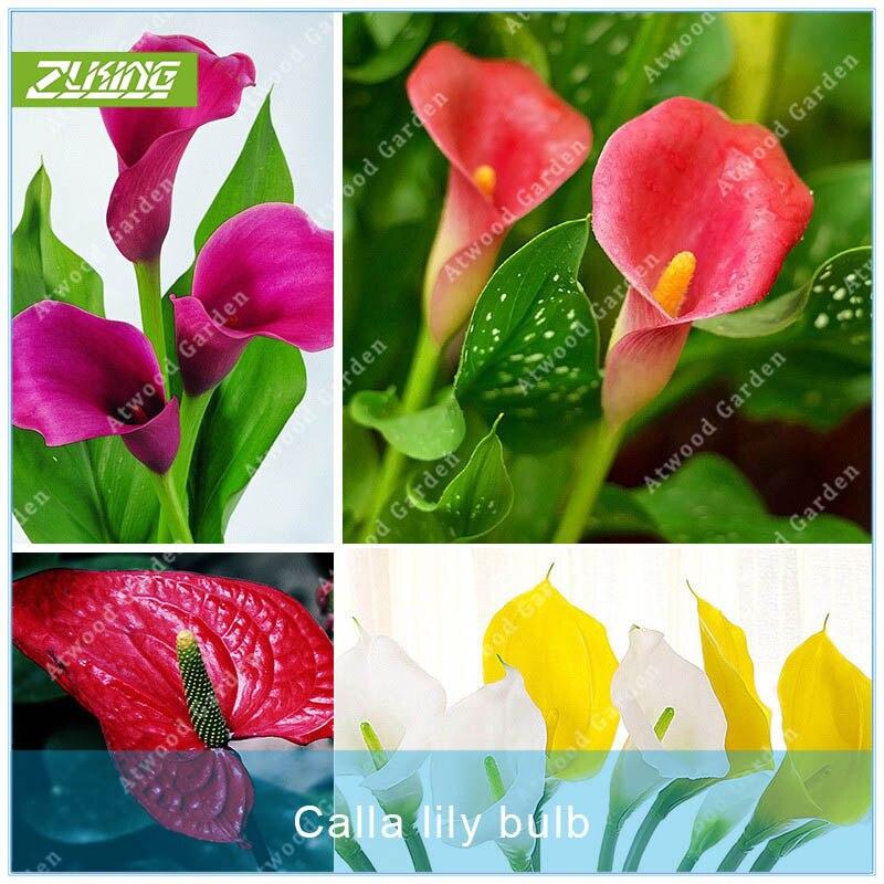 ZLKING 2pcs Colorful Calla Lily Bulbs Flower Bonsai Plant Wedding Flower Perennials Flowers Bulbs Not Seeds For Home Garden