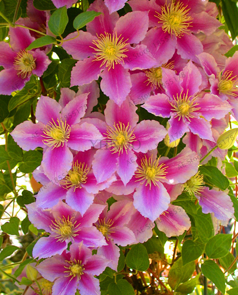 104 Pcs Rare Clematis Hybridas Seeds Potted Balcony Clematis