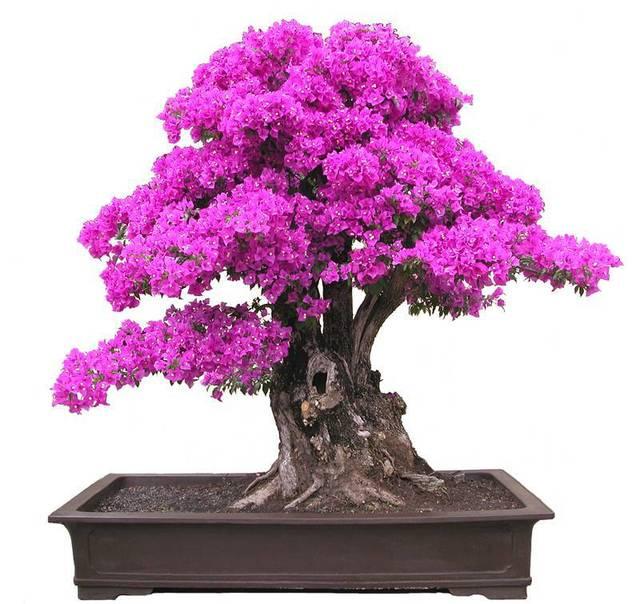 nuevo real plantas florecen plantas subi sementes mayorista de flores semillas spectabilis willd