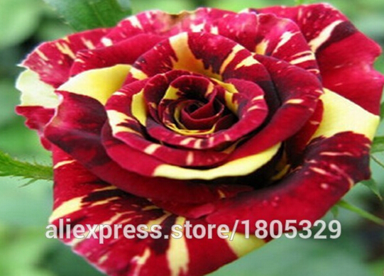 Free shipping 100pcs*1pack Seeds China Rare Meteor Shower rose seeds Rose Flower seeds