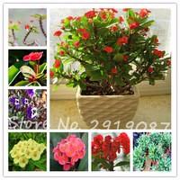 Sale-50pcs-bag-Euphorbia-Milii-Seeds-Rare-Wedding-Flower-Plants-For-men-Home-Garden-Very-Easy.jpg_200x200