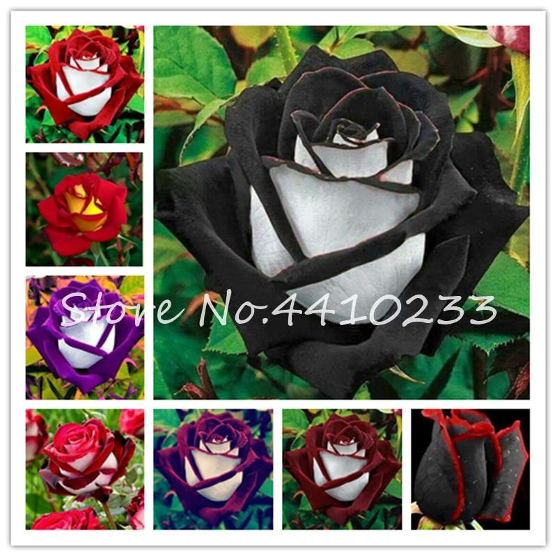 € 0.19 60% de réduction|50 pièces/sac étonnamment beauté Rose bonsaï fleur  avec bord rouge couleur Rare jardin vivace buisson ou bonsaï fleur-in ...