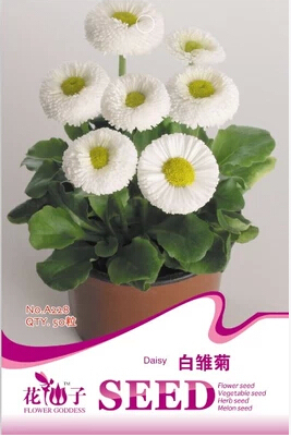 Color package package robust plants, likes the cold color daisy seeds 50 A228 vain