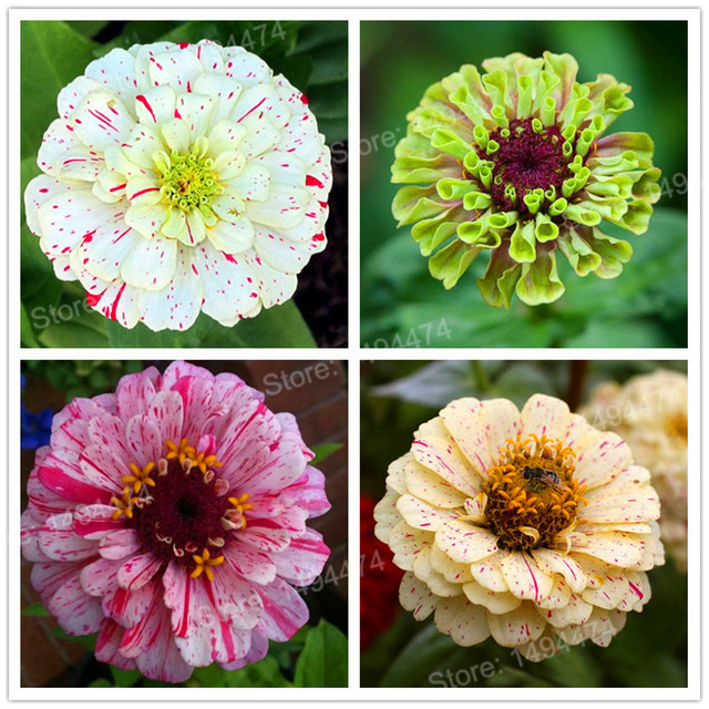 100 pcs mixed color zinnia seeds bonsai potted flower seeds rare 100 pcs mixed color zinnia seeds bonsai potted flower seeds rare spring flowers plants mightylinksfo