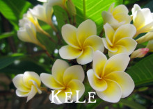 New Fresh Seeds! 20PCS/BAG Plumeria Seeds, Rare Exotic Flower Seeds Egg Flower Seeds Free Shipping