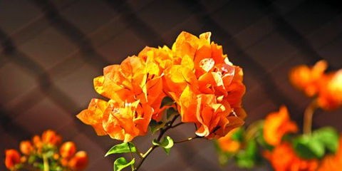 Newly introduced varieties bougainvillea Gold macular elf leaves and 50 seed / packaging | 11Offers.com