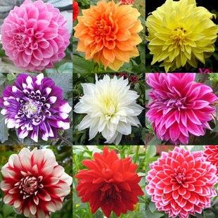 Tipo ordinally yukako lâmpadas dália sementes bonsai flores – 100 pcs sementes