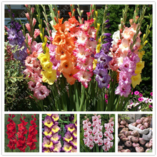 2 bulbs true gladiolus bulbs, beautiful gladiolus flower,(not gladiolus seed),Flower symbolizes longevity,plant for home garden