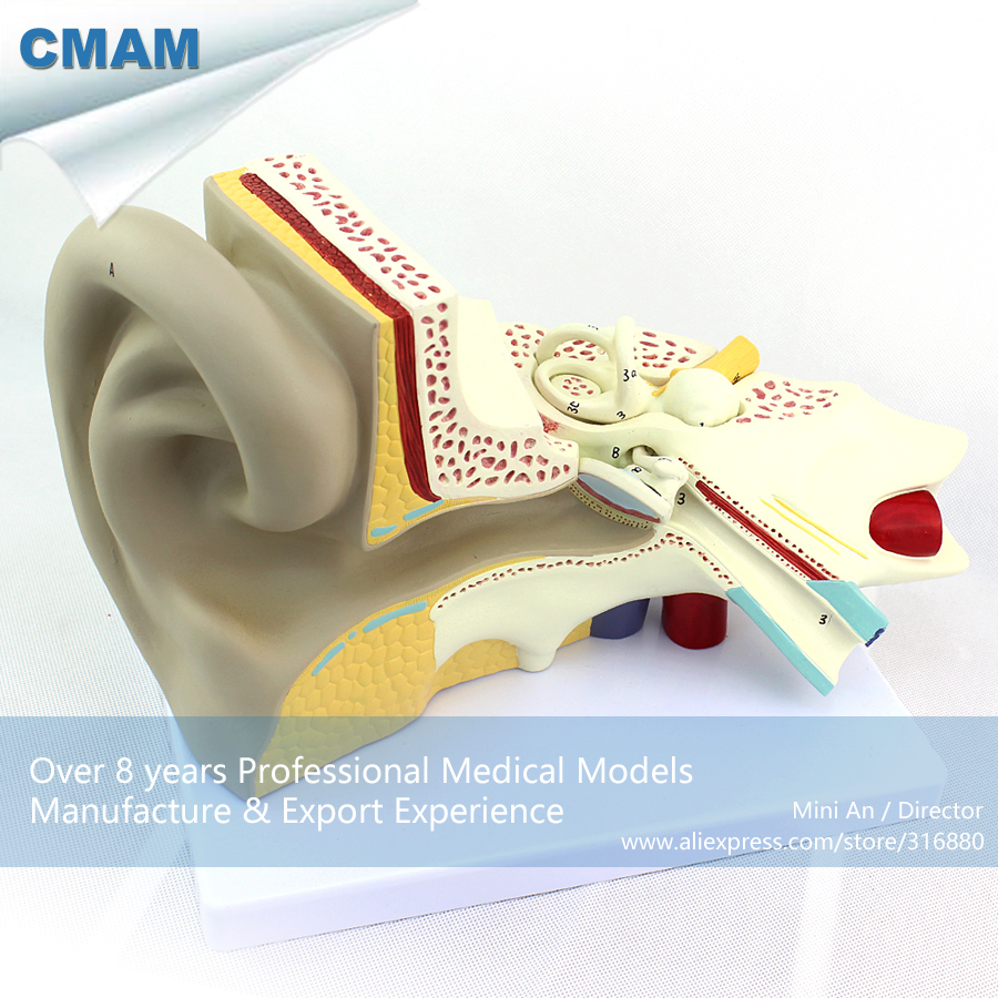 12519 CMAM-EAR09 Human Anatomy Ear Model w/ 3 parts Movable in 6x Life Size, Medical Science Educational Anatomical Models