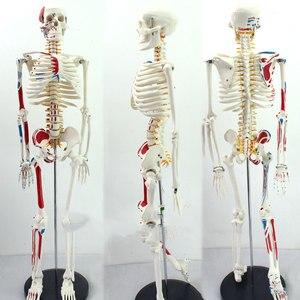 Image 3 - أصيلة ديلوكس 85 سنتيمتر نموذج القزم البشري مع نموذج الحبل الشوكي من الهيكل العظمي الطبي التدريس الطبي