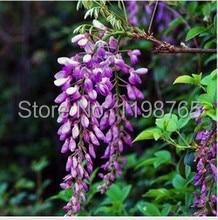 50pcs /bag hot selling Purple Wisteria Flower Seeds for DIY home garden 49%
