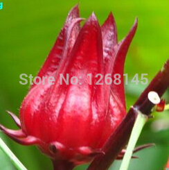 Rare 100pcs/lot ROSELLE (HIBISCUS SABDARIFFA) * CHINESE HERBS SEEDS * EXCELLENT AS TEA DIY home garden free shipping