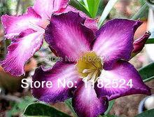 20 СЕМЕНА-Свежий Редкие «УЛЬТРАФИОЛЕТ» Adenium Obesum Семена-Семена Бонсай Desert Rose Цветок Завод