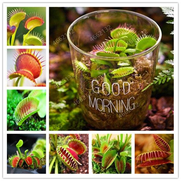 100Pcs Potted Insectivorous Plant Dionaea Muscipula Giant Clip Venus Flytrap Bonsai Carnivorous Plant DIY Home Garden
