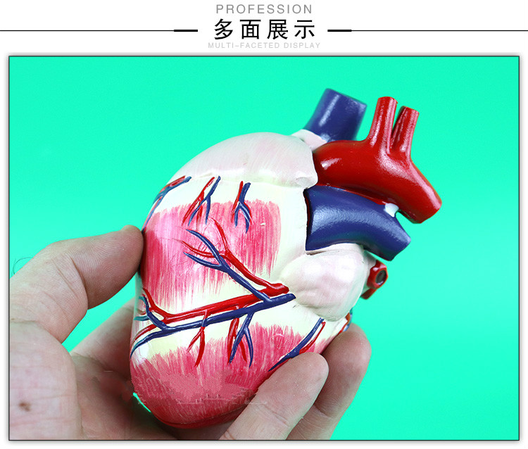 Veterinarian\'s Dog Canine Heart Anatomy Model Dog Anatomy Organ ...