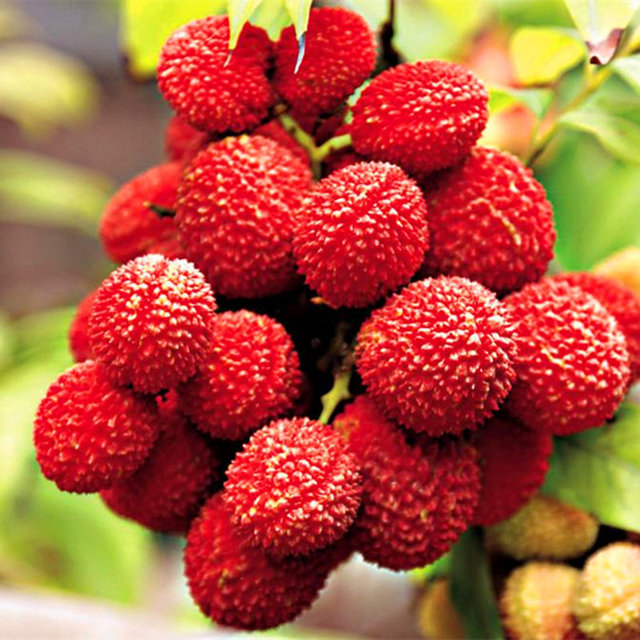 Litchi Seeds, Giant Lychee Seeds, 10pcs/pack