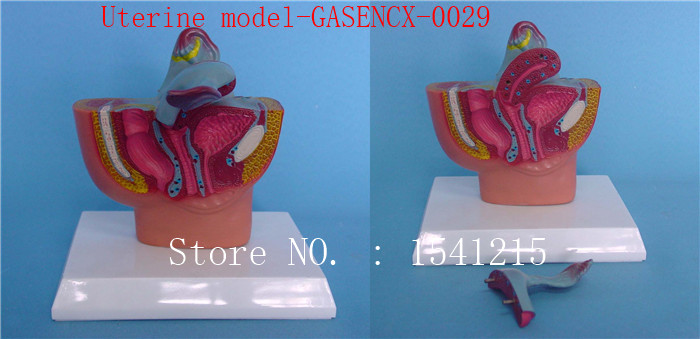 Genital anatomy model Medical human specimens Uterine model-GASENCX-0029 human anatomical male genital urinary pelvic system dissect medical organ model school hospital