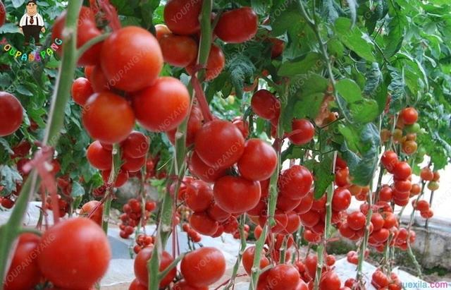 New 200 Pcs Big Italy New Tomato plants Cherry Tomato Tree plants No-gmo Fruit Vegetable plants For Home Garden Planting