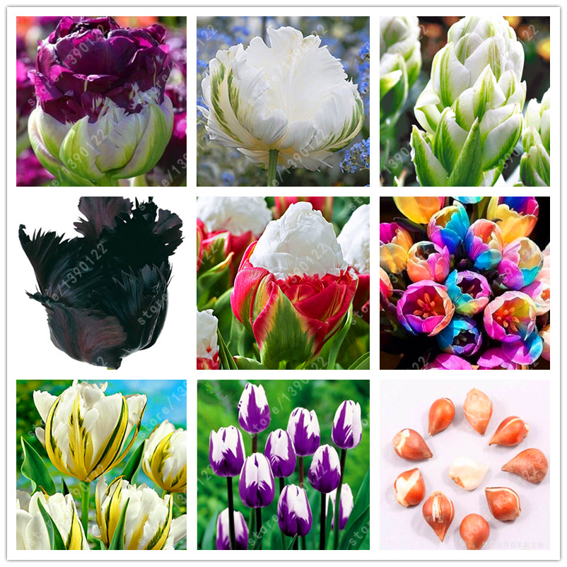 True tulip bulbs Double Tulip 'Barbados' (not tulip seeds) flower bulbs, bulbs tulips Bulbous Root tulipanes garden plant 2 pcs