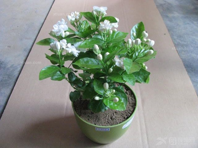 50 / bag jasmine seed indoor potted plants perennial flower seed-in ...