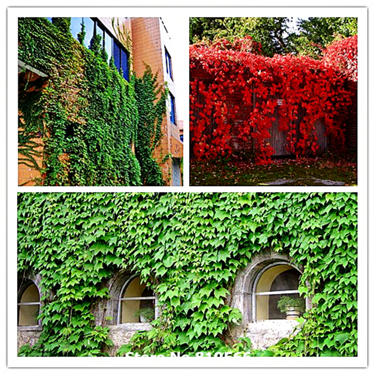 100% real green boston ivy creeper grass seeds outdoor tree