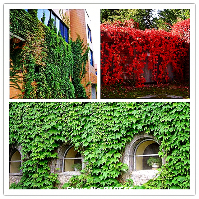 100 real green boston ivy creeper grass seeds outdoor - Edera da interno ...