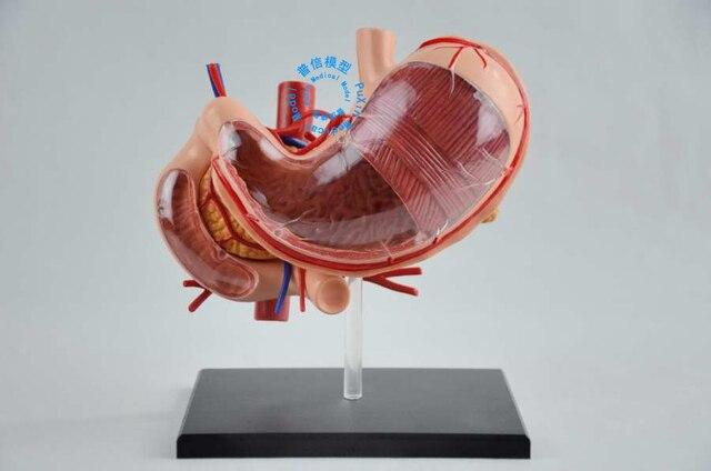 Envío libre y 4D estómago anatomía, modelo de la Asamblea ...