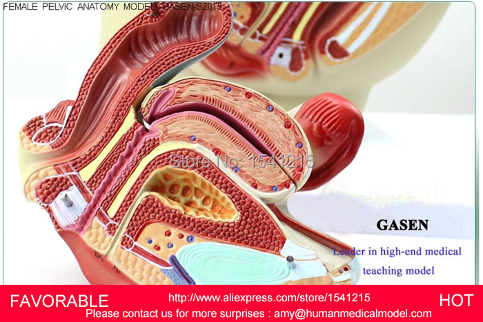Aliexpress Buy Reproductive Modelfemale Pelvis Anatomical