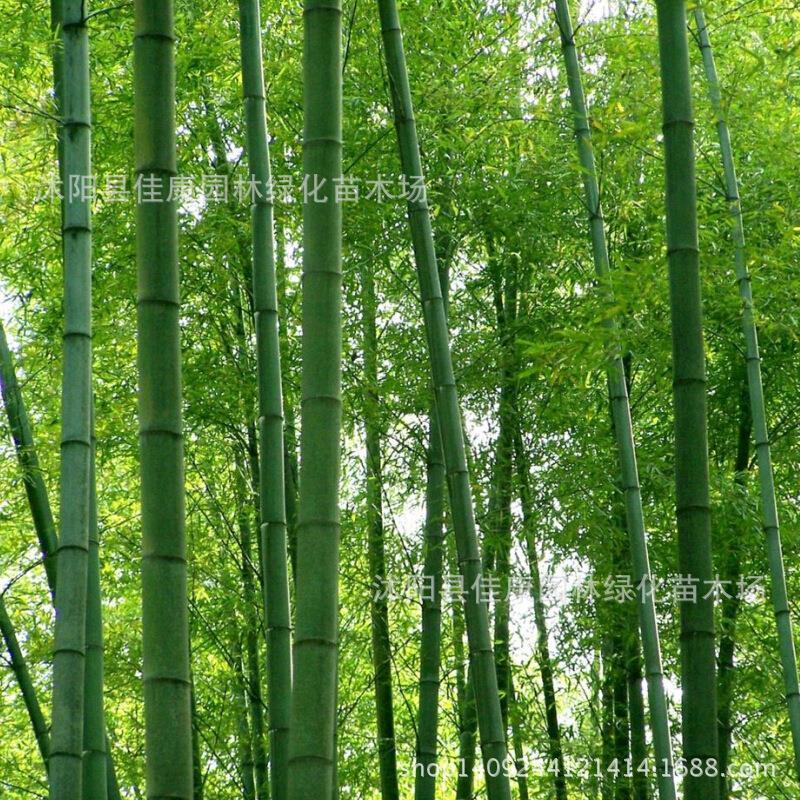 Arbre plante qualité bambou Moso bambou plante Mao Zhujiang sud hibou bambou plante Mao Zhuzai emplacements réels 200 g/paquet
