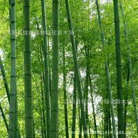Tree plant quality bamboo Moso bamboo plant Mao Zhujiang South owl bamboo plant Mao Zhuzai real locations 200g / Pack