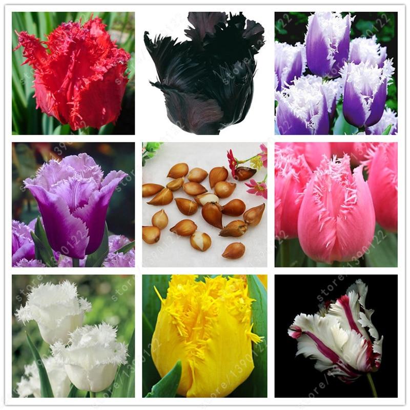 2 bulbs true tulip bulbs, tulip flower, not tulip seeds, flower Variety Fresh Bulbous Root Flower Corms Planted, for home garden