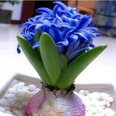 semillas de jacinto hyacinthus orientalis plantas verdes de interior las plantas de flores fcil