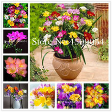 dd50246f0590 100 pcs Coloré Freesia Fleur Bonsaï Seedsplants D intérieur En Pot  Seedsflower Orchidée