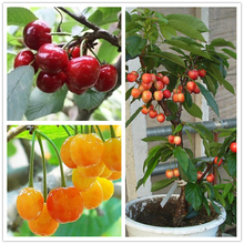Asian Cherry Seeds Fruit Seed 20pcs/bag Bonsai Sweet Sylvia Upright Cherry prunus Avium Self-fertile Dwarf Tree Seeds For Garden